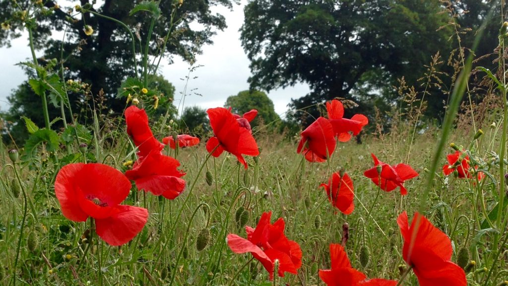 Poppies at the Isle B&B in Shropshire